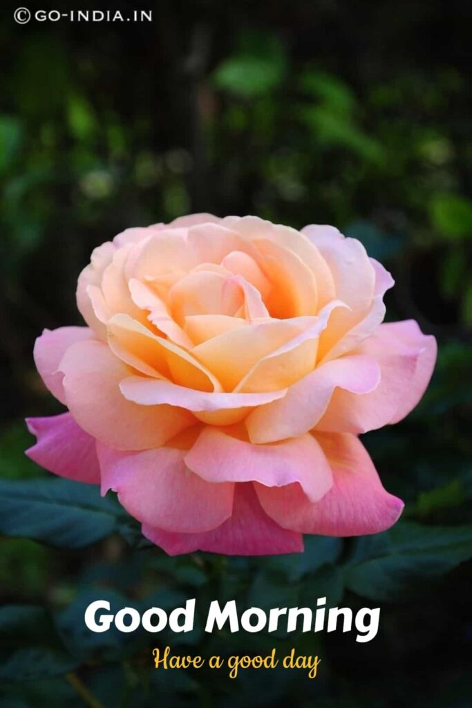 beautiful good morning have a good day image with romantic rose