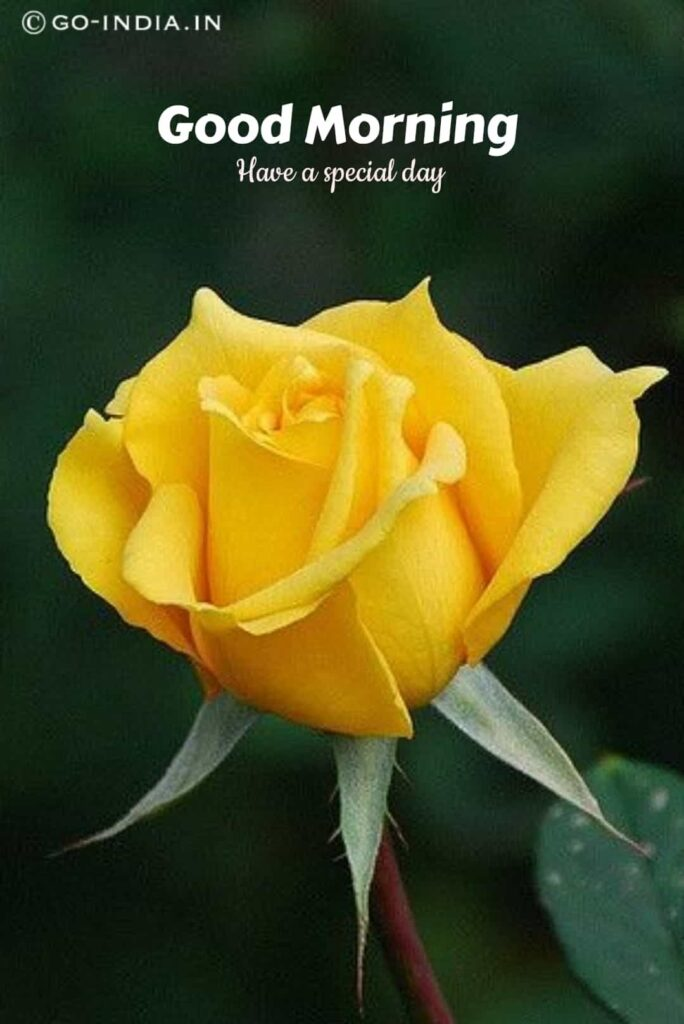 best good morning images with yellow rose