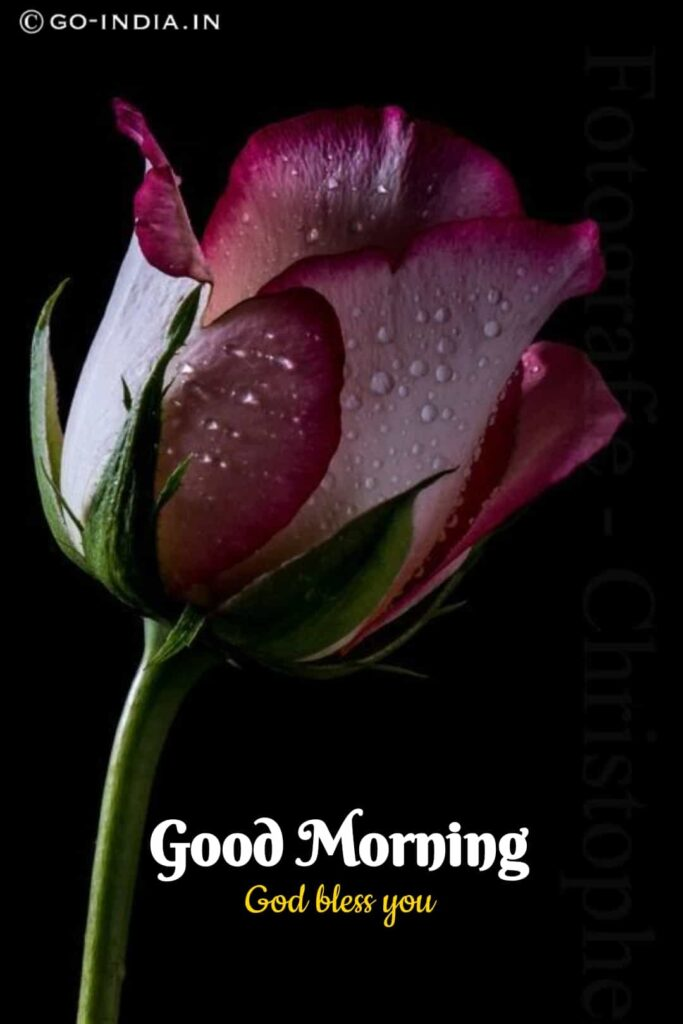 good morning god bless you images with red rose images