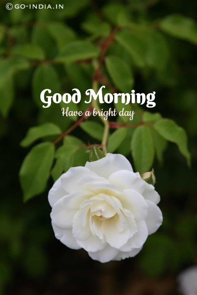good morning have a bright day images with white rose