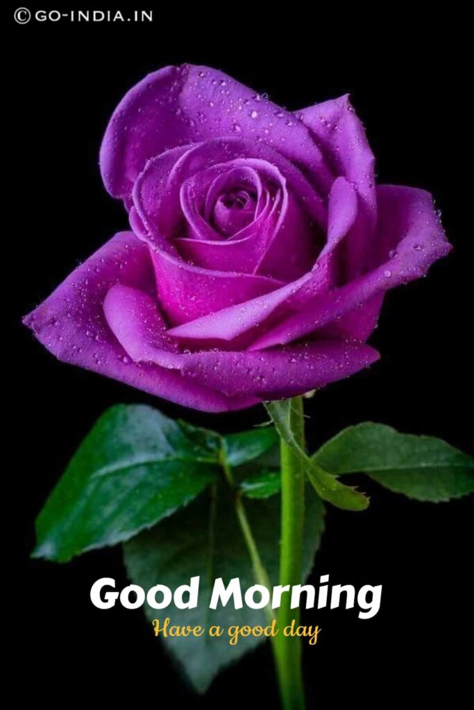 good morning have a good day image with purple rose image