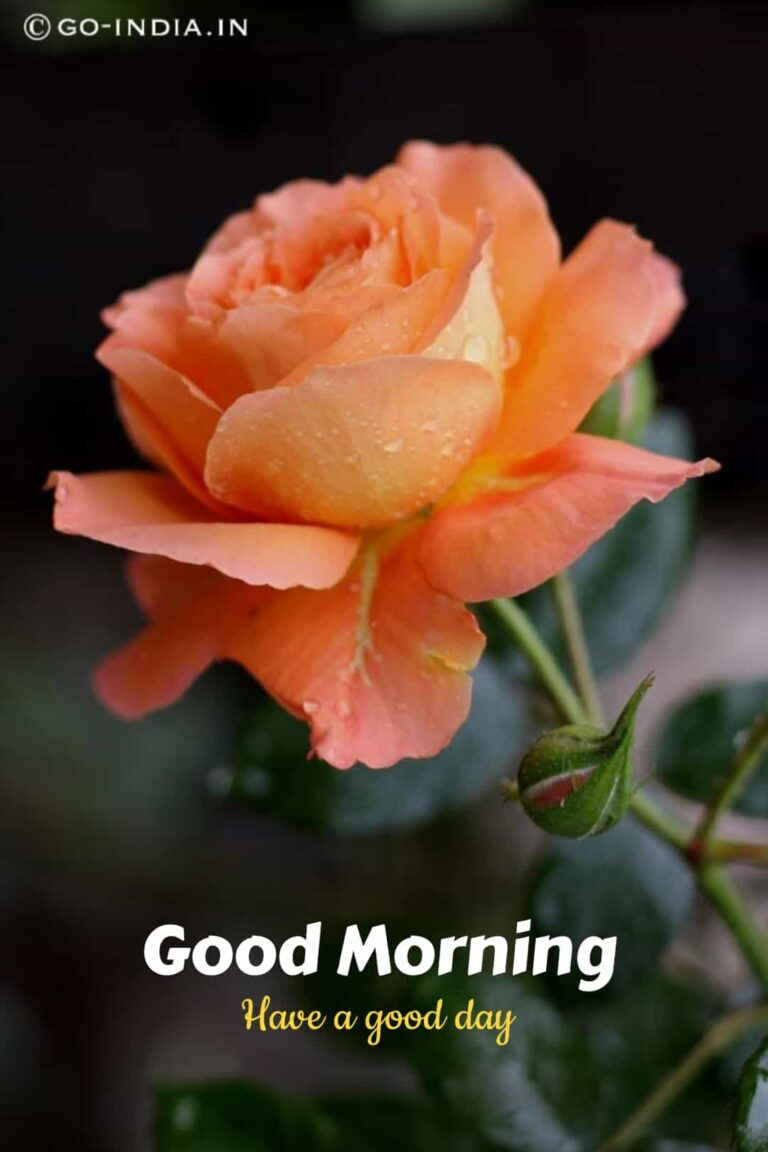 good morning have a good day image with rose