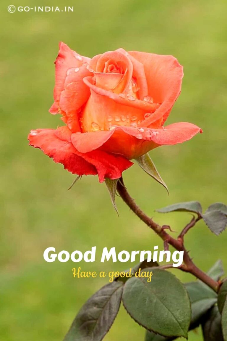 good morning have a good day with orange rose for free download