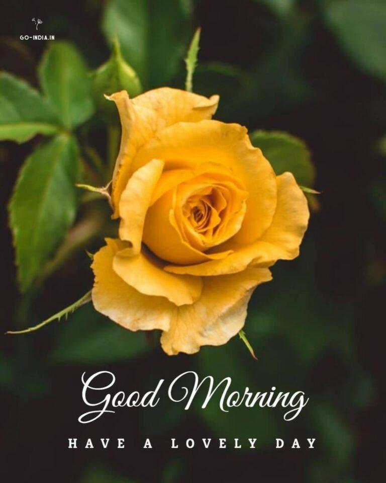 good morning hd rose