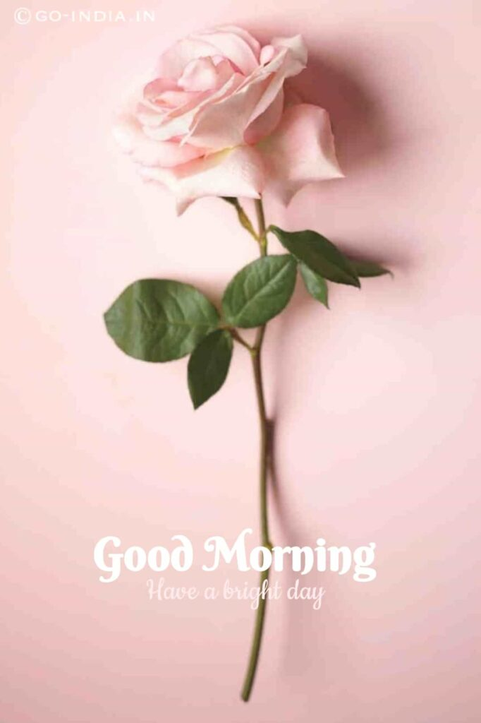 good morning images with pink rose and pink background for free download