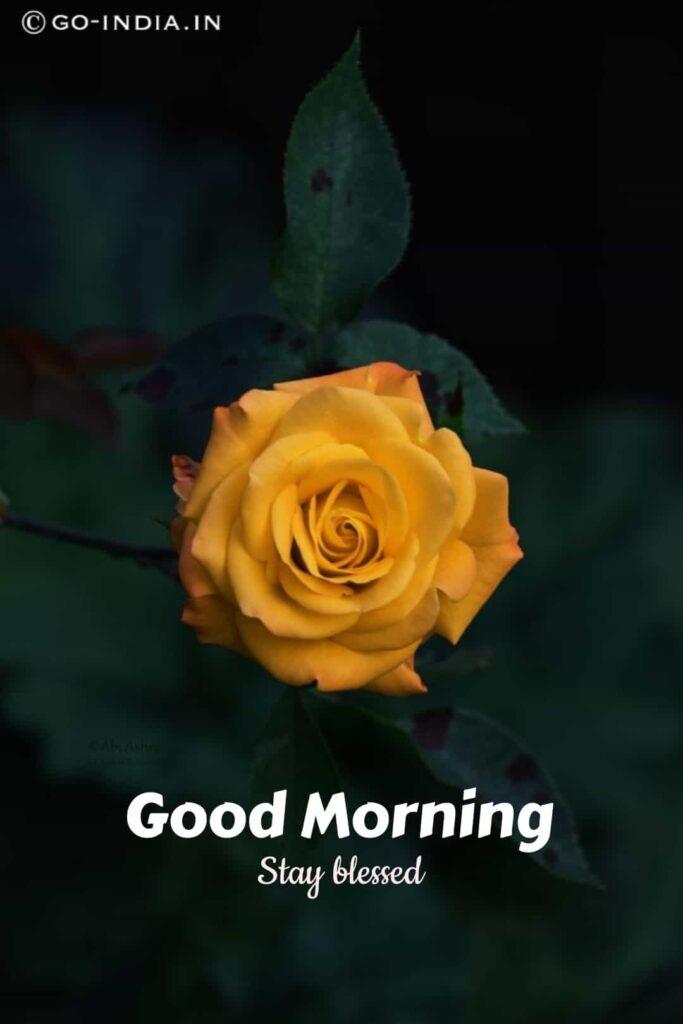 good morning images yellow rose