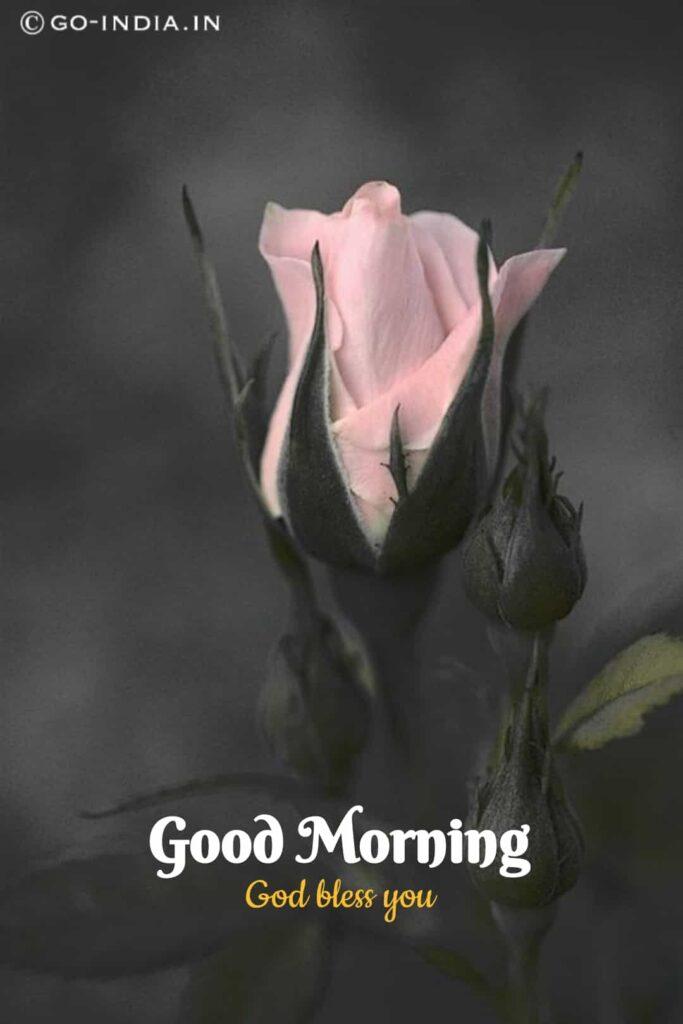 good morning pink rose wallpaper