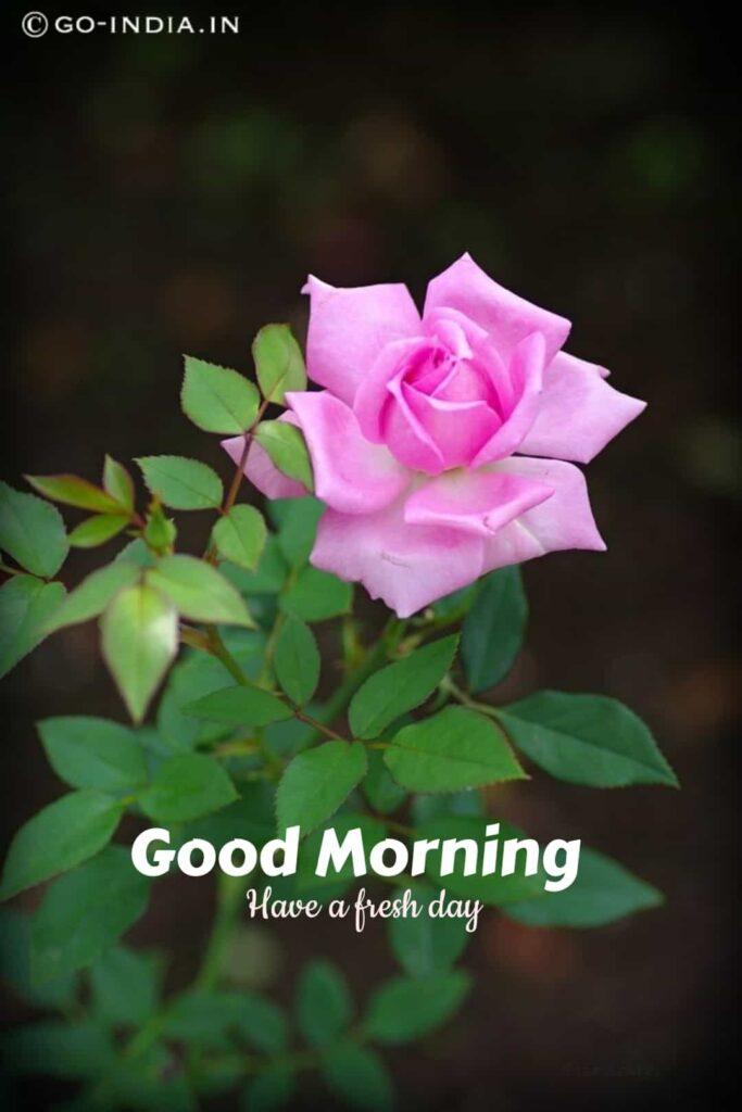 good morning rose img