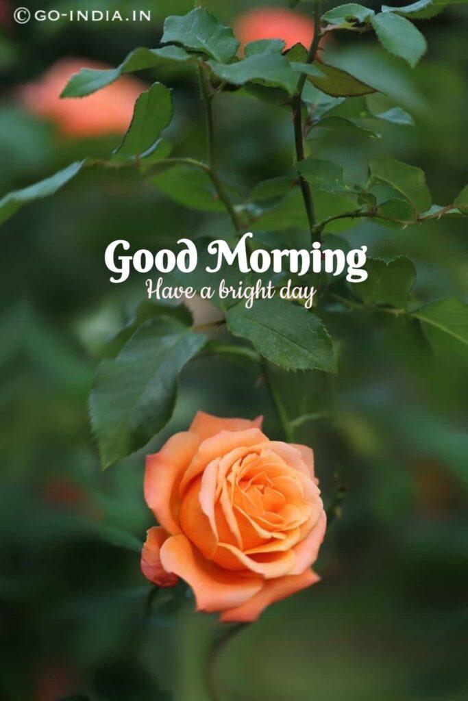 good morning with orange rose