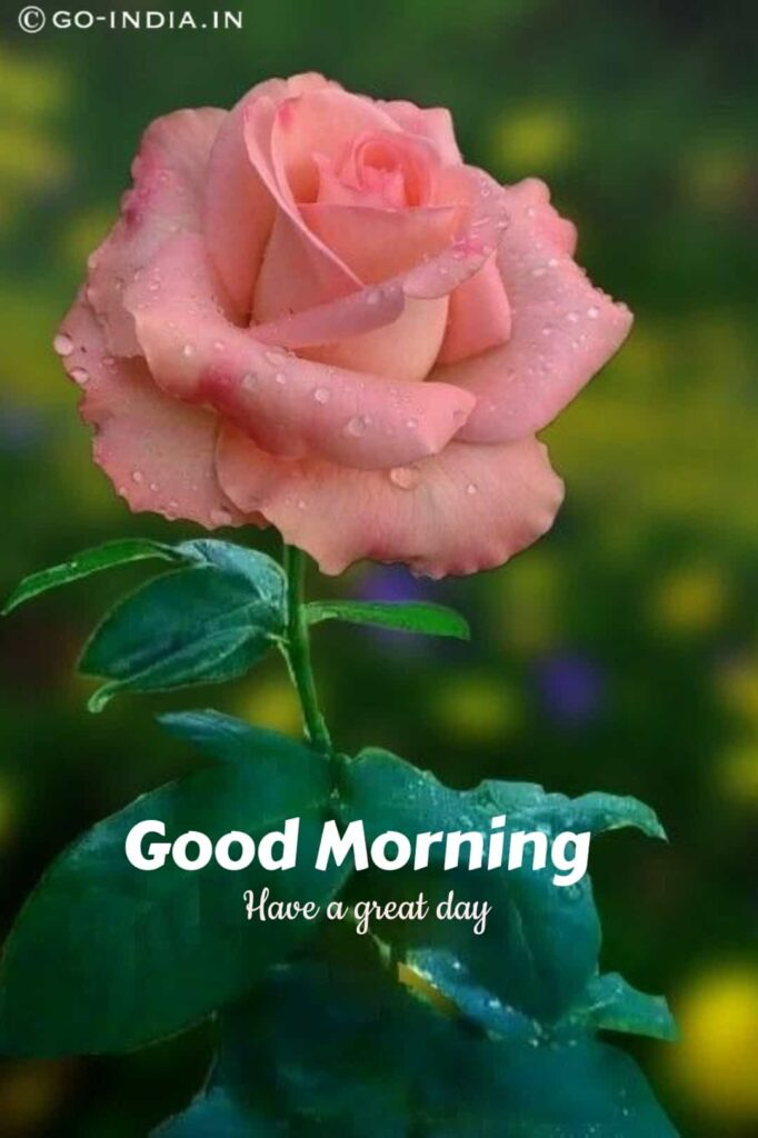 good morning with rose