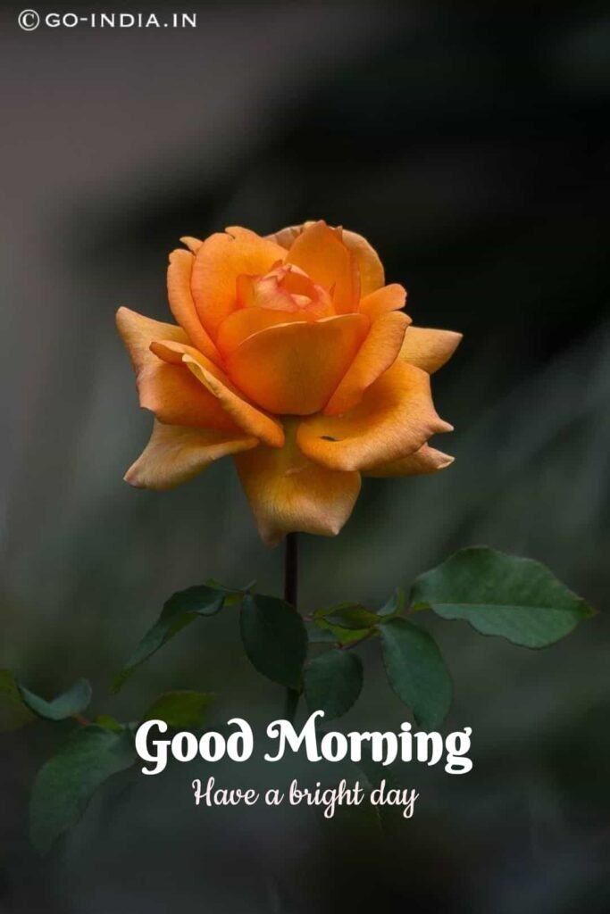 lovely good morning images with rose