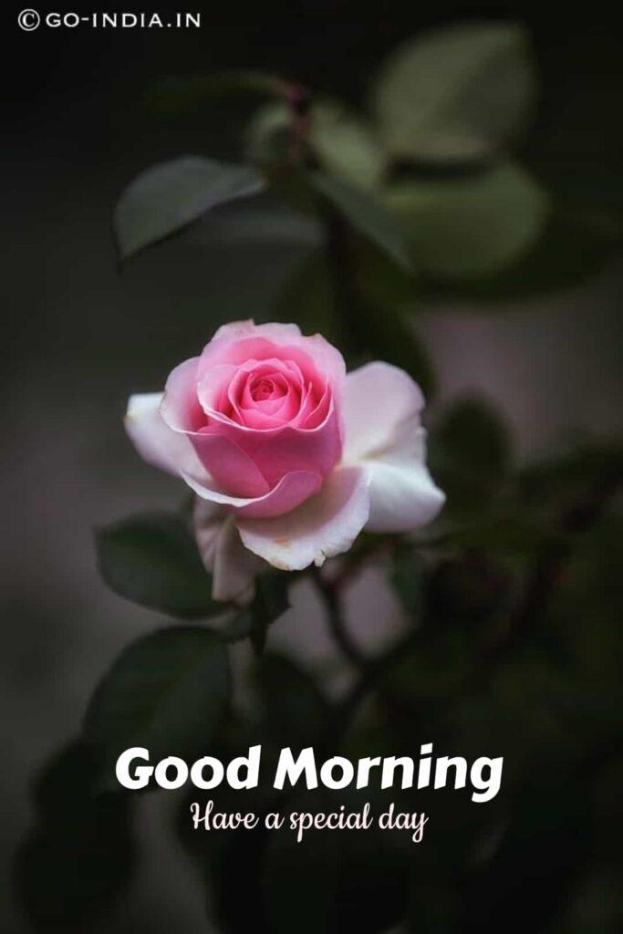 pink rose good morning images