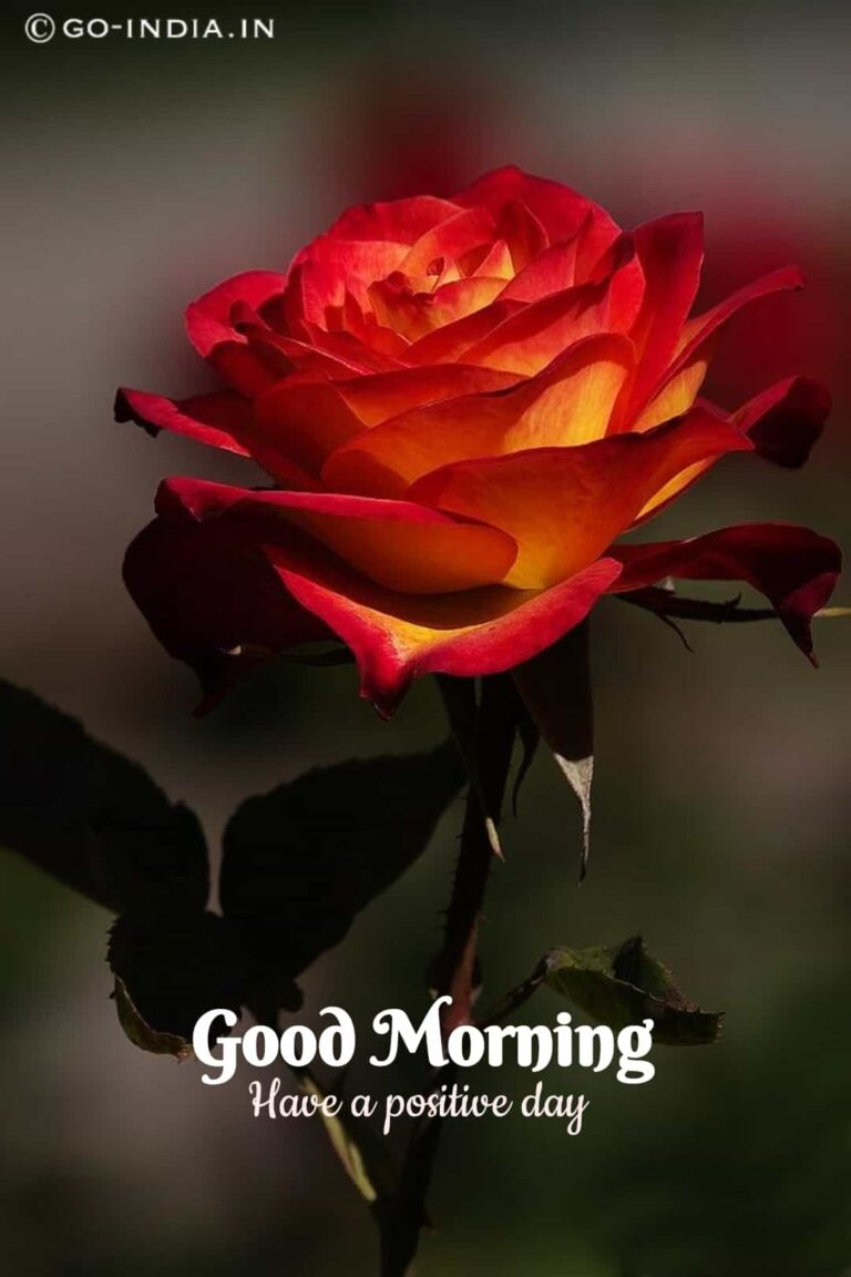 red rose good morning wallpaper