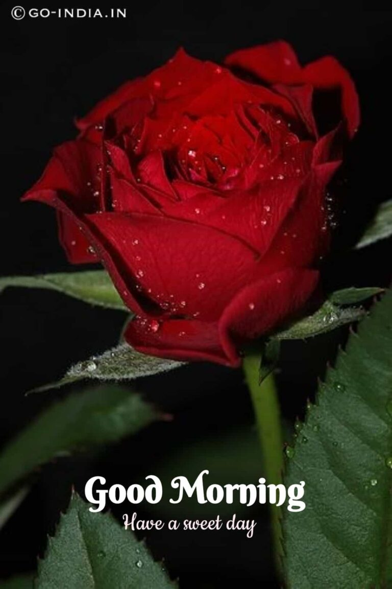 romantic red rose wallpaper with good morning