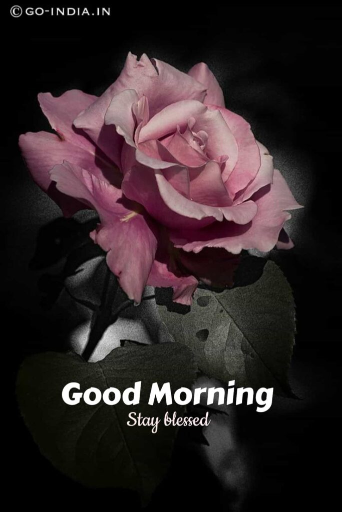 rose good morning wallpaper