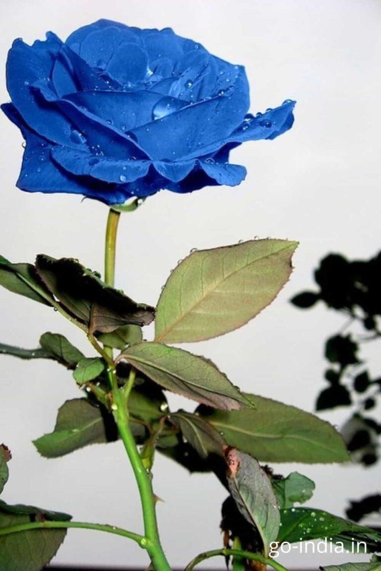 3d blue rose wallpaper