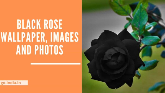 Black Rose Wallpaper, Images and Photos