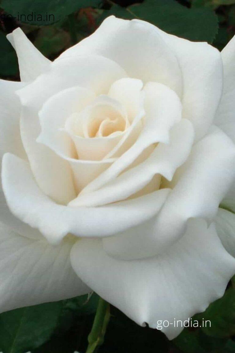 a blommed white rose