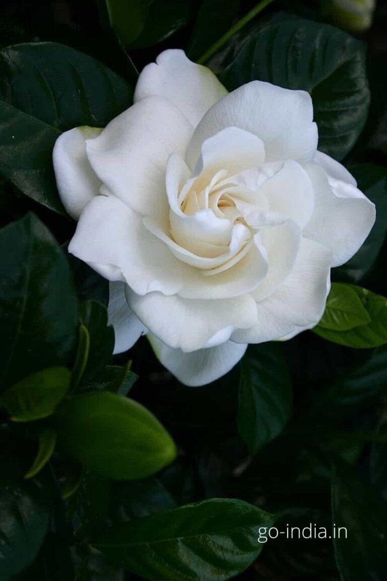 a lovely alone white rose HD wallpaper
