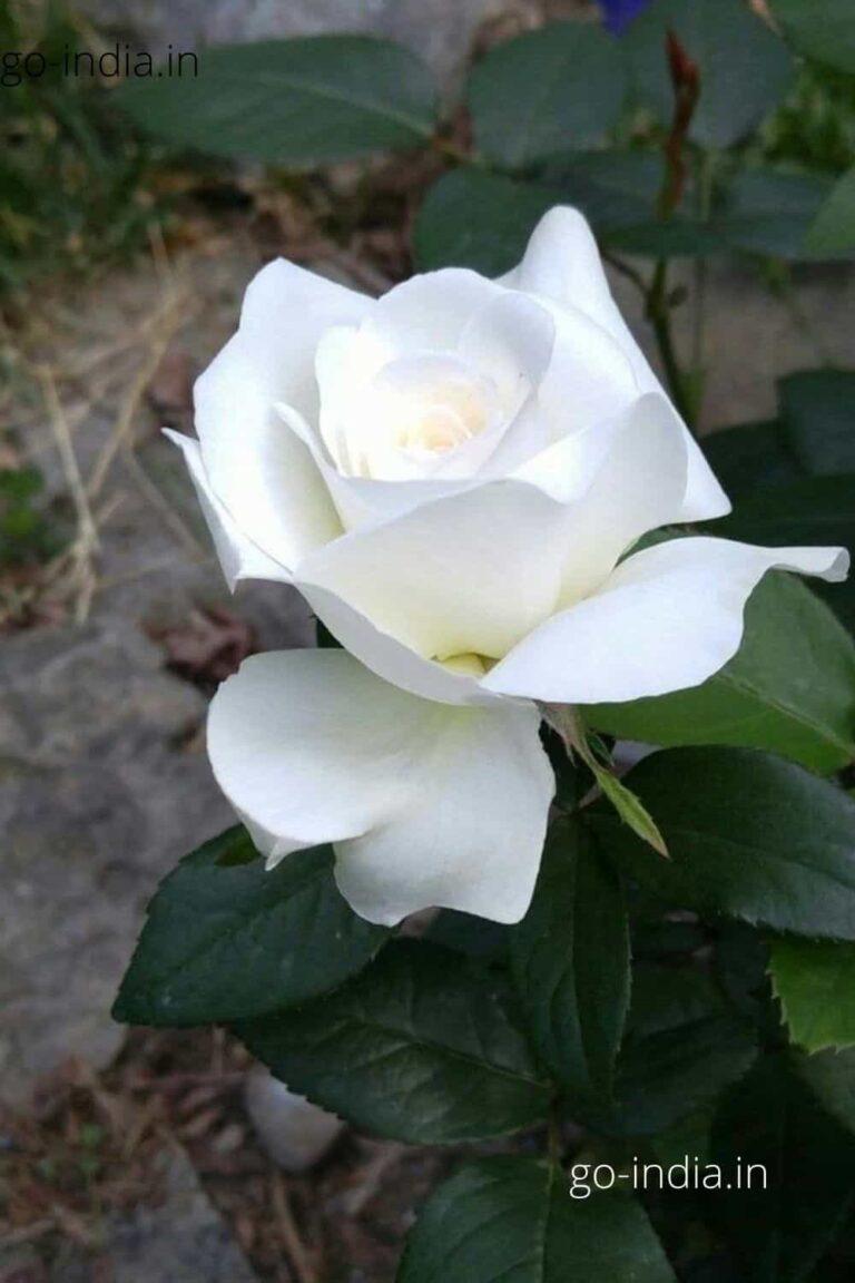 a lovely alone white rose wallpaper
