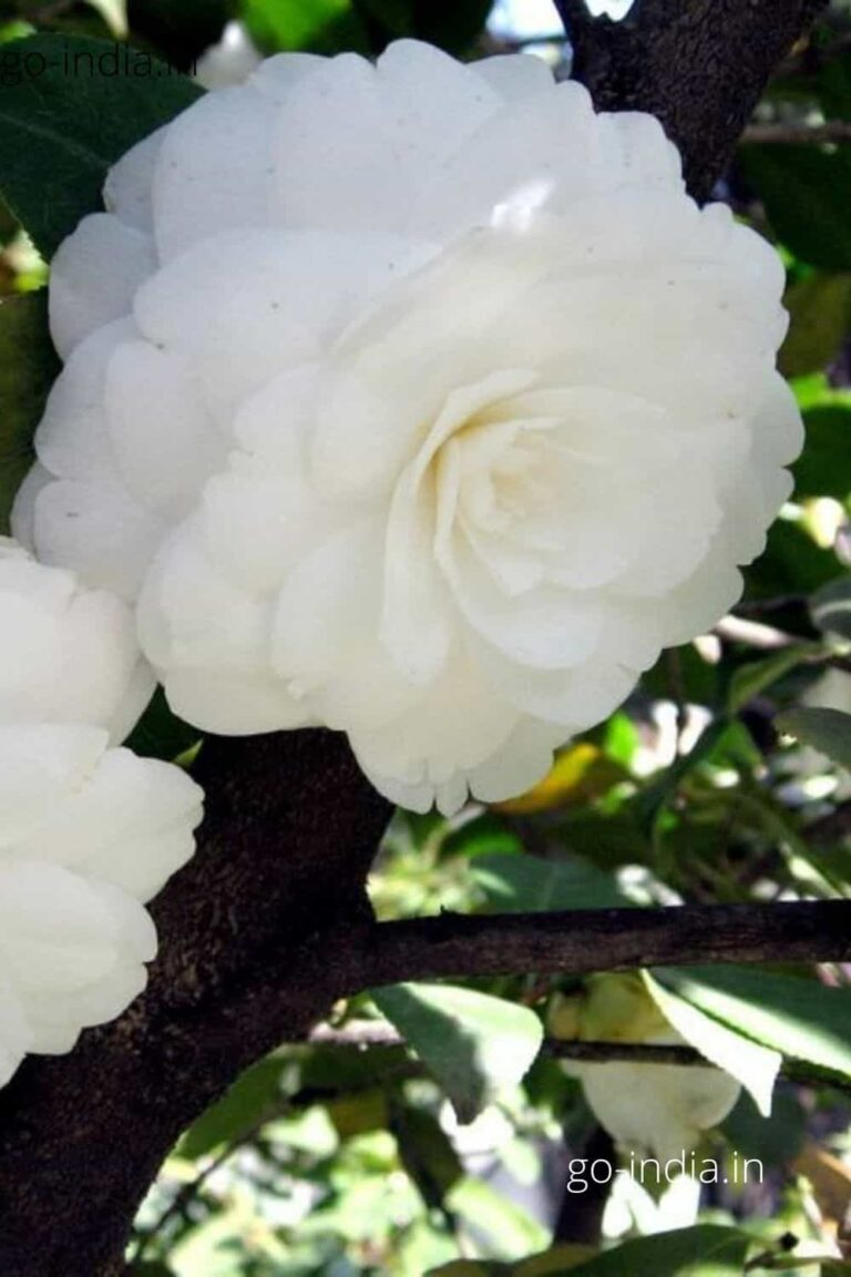a pic of white rose