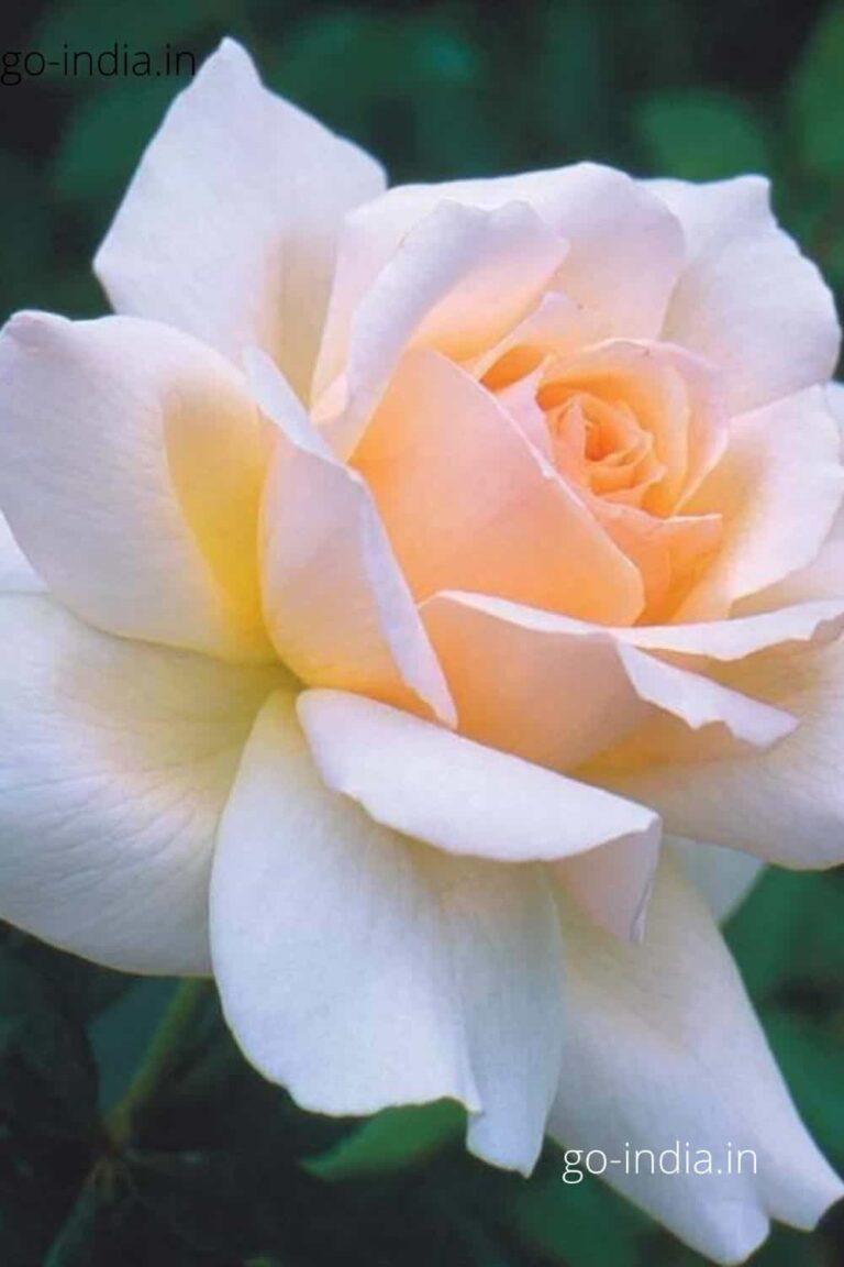a preety white rose