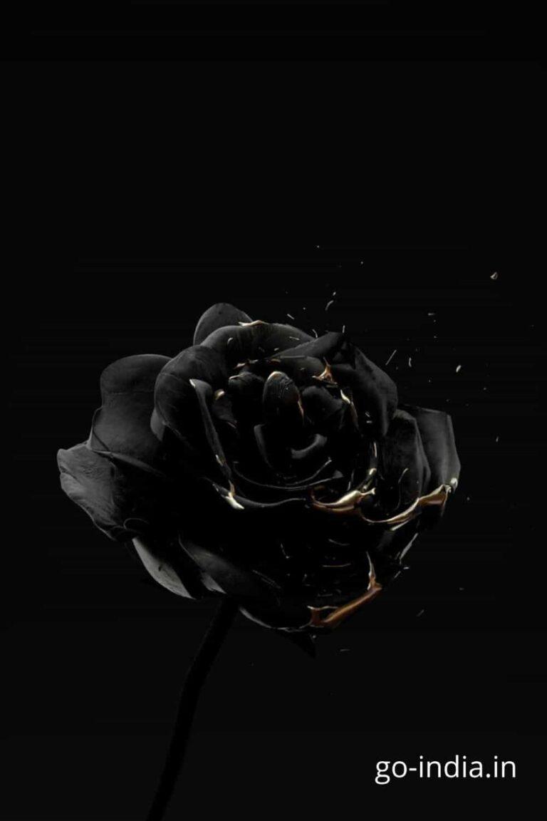a single black rose