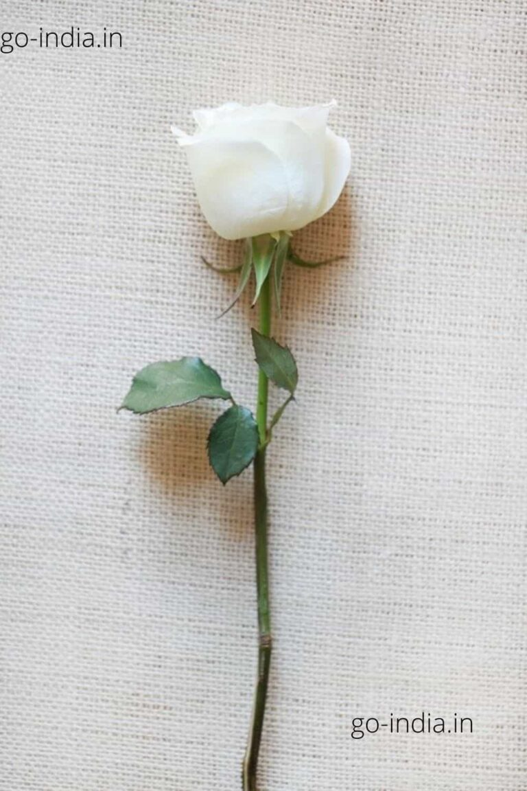 a white rose lying on the ground