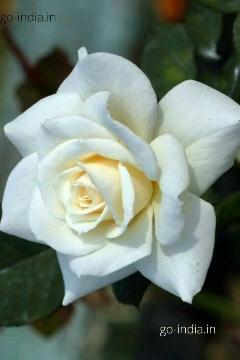 a white rose with yellow colour in middle