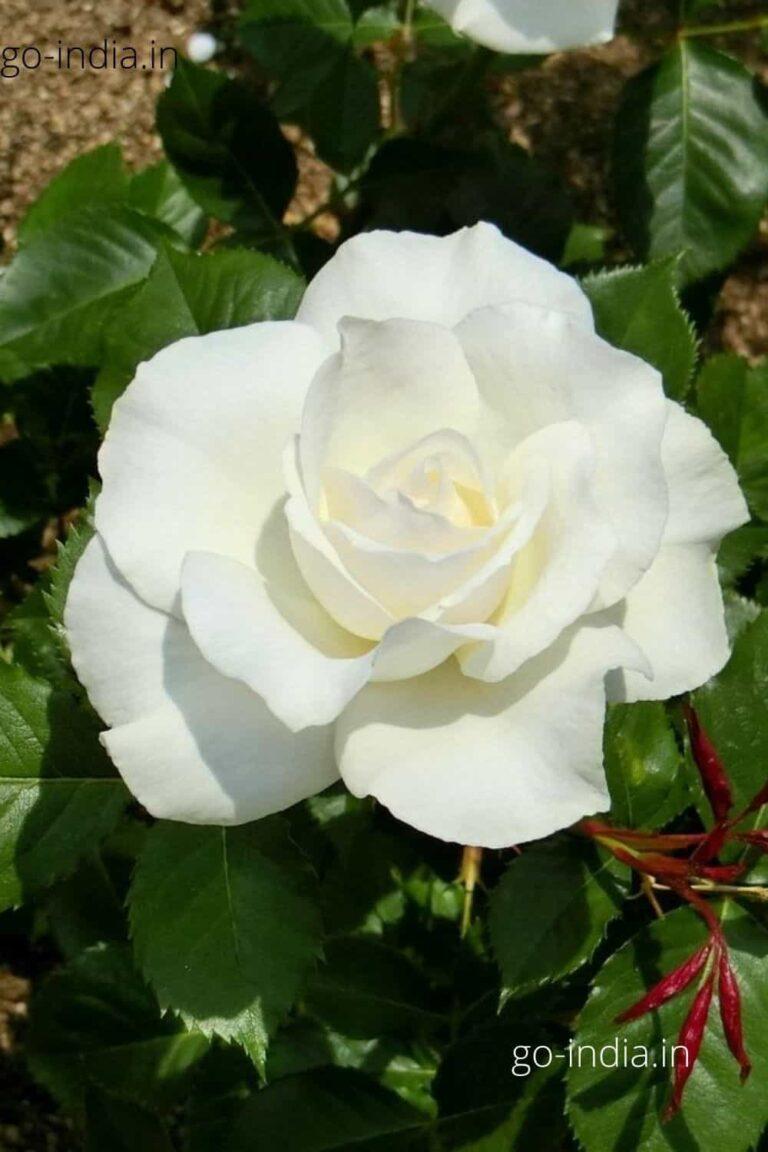 an HD quality white rose walpaper