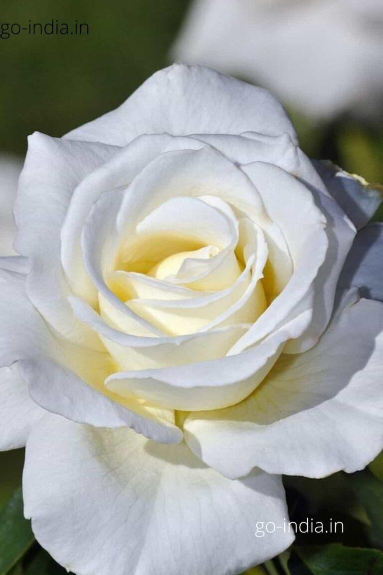 an HD wallpaper of white rose