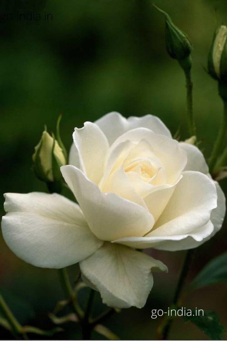 an beautiful image of white rose