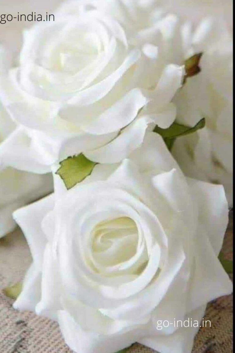 an beautiful white rose