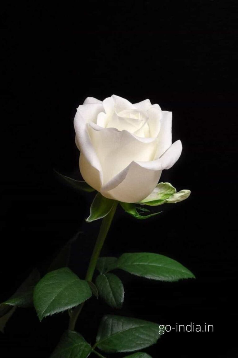 an epic HD wallpaper of white rose