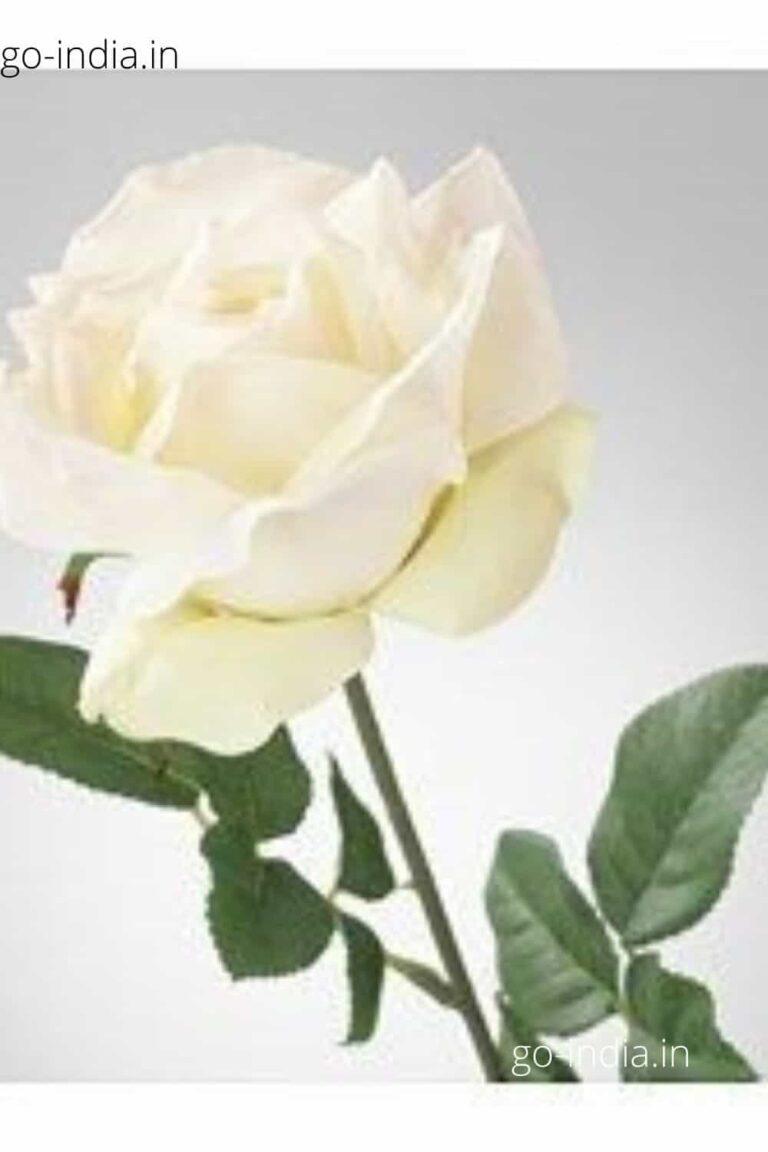an epic white rose