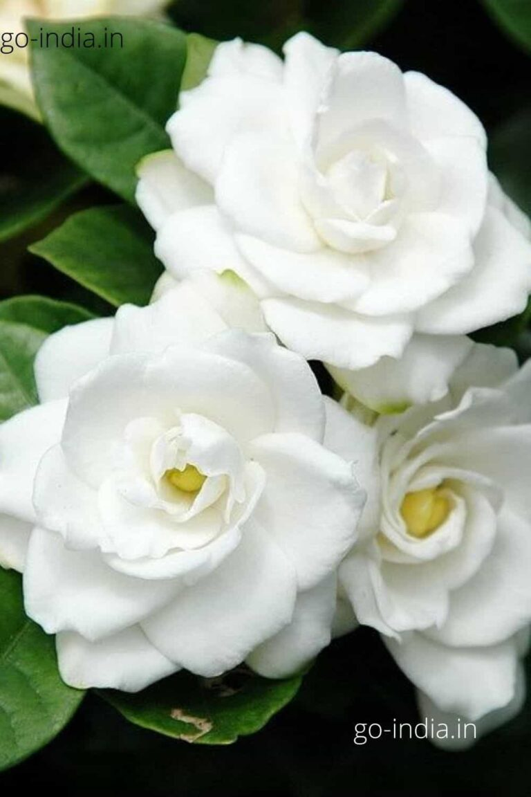 an lovely white rose