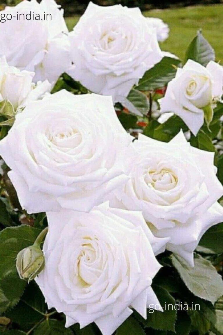 an preety white rose