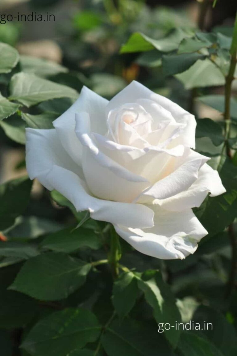 an white rose with dark green leaves