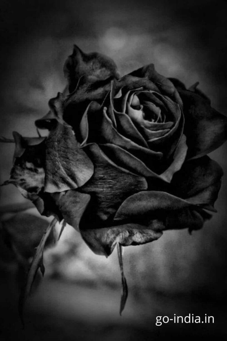 beautiful bouque of black rose