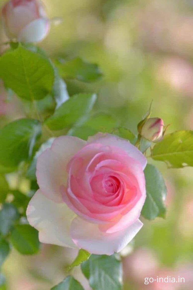 beautiful pink rose flower image