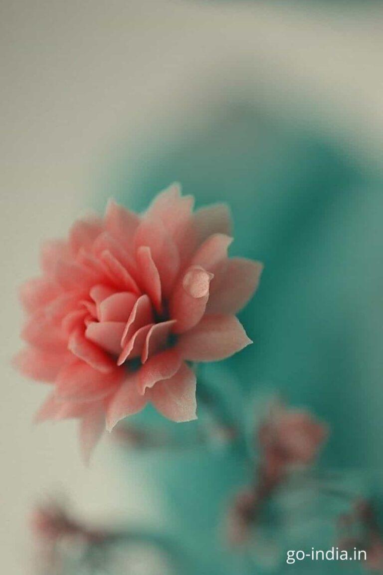beautiful pink rose image