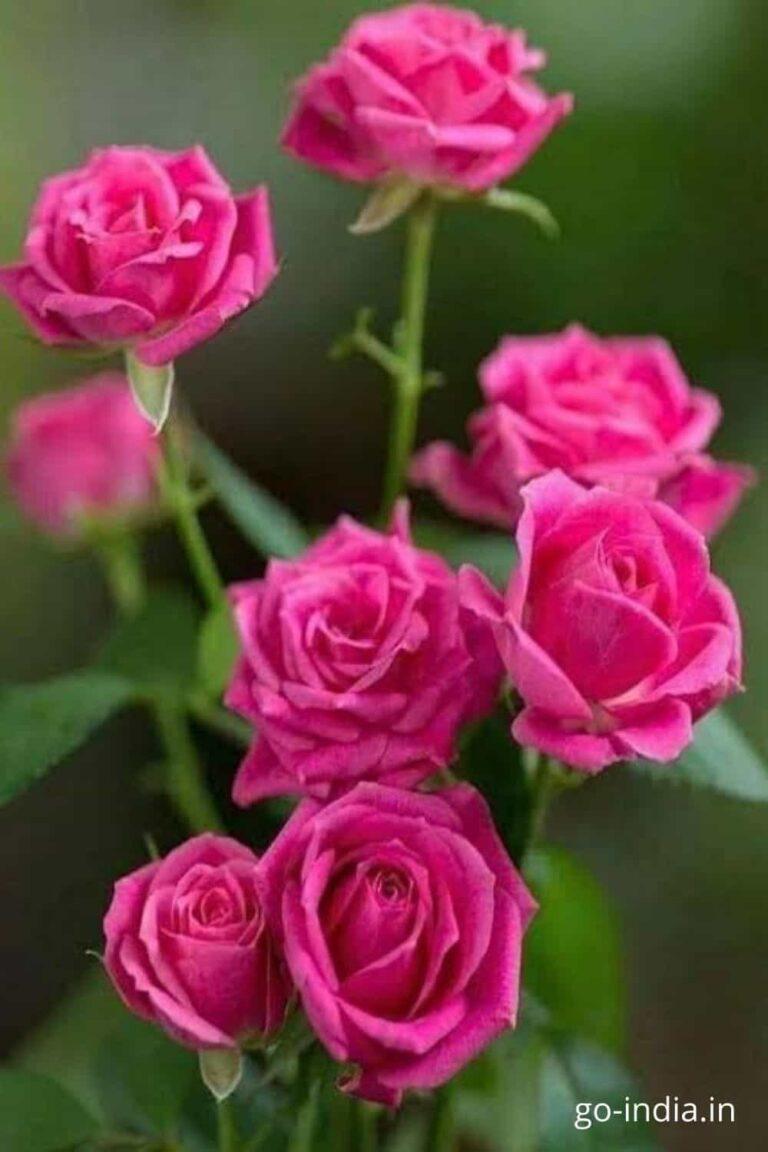 beautiful pink rose wallpapers