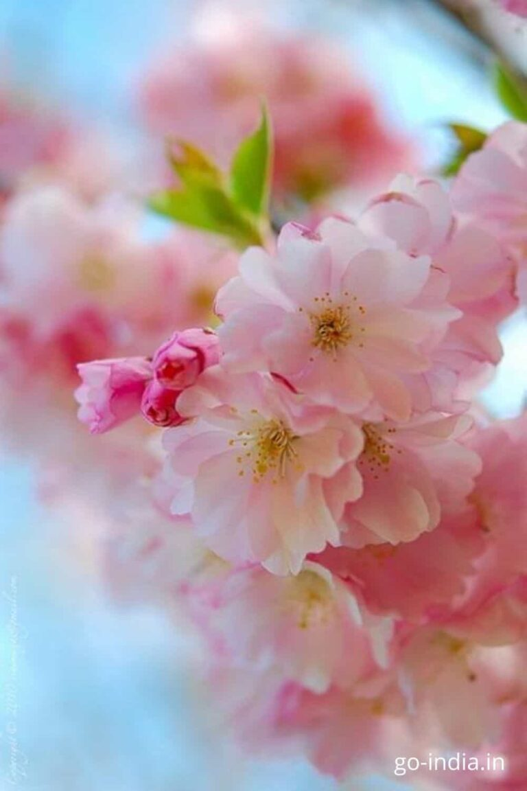 beautiful pink roses wallpapers free download