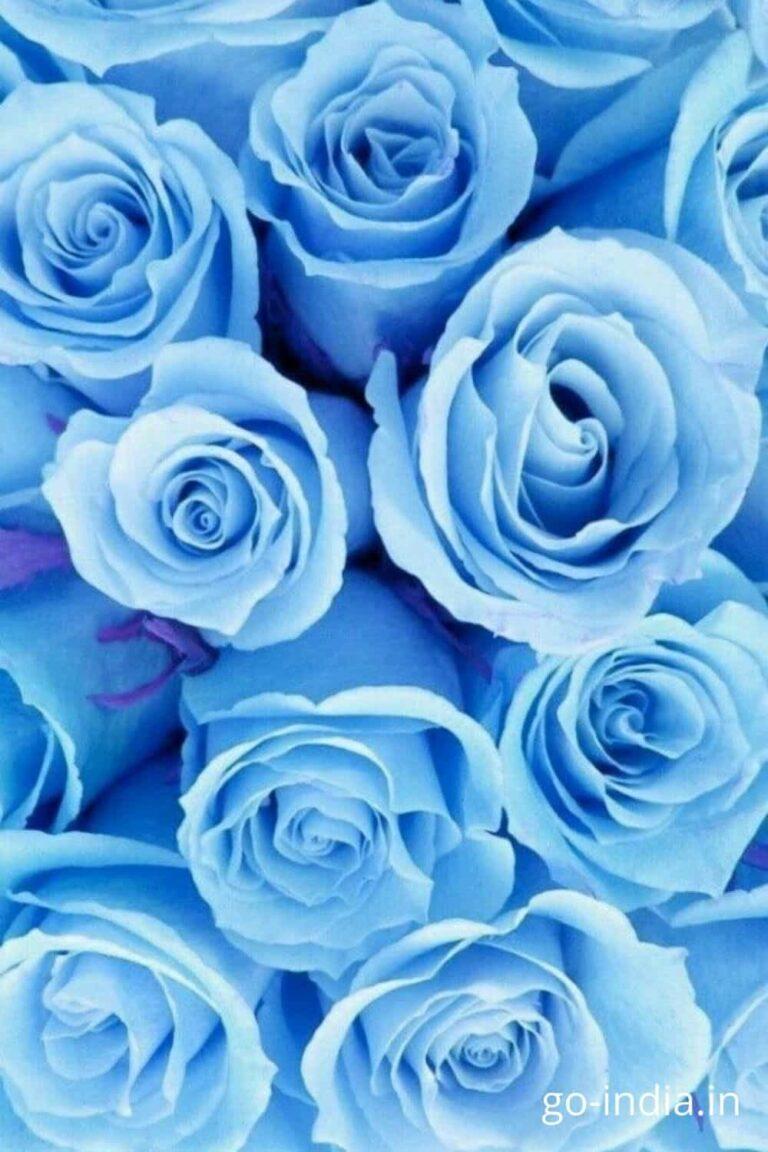 beautiful rose pic
