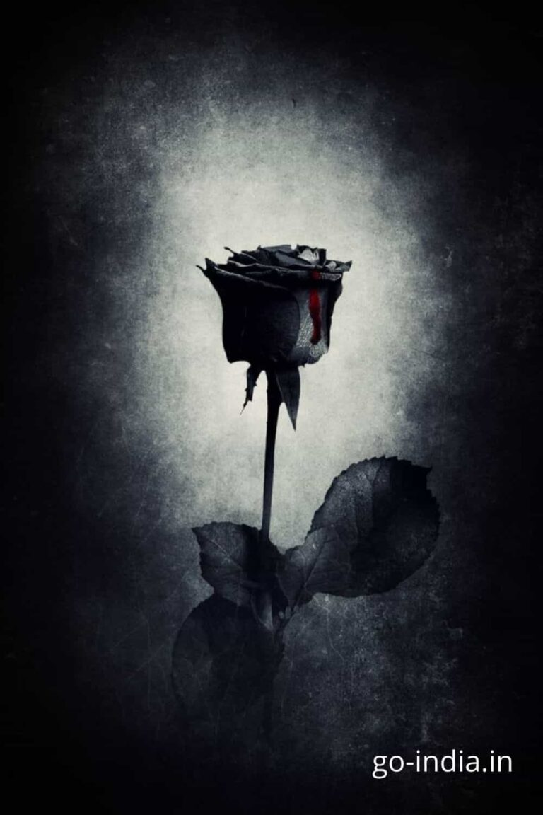 black rose in standing position