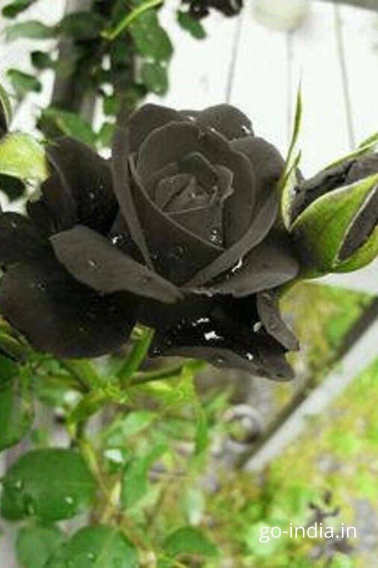 black rose on the plant
