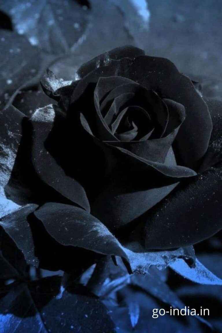 black rose with HD wallpaper