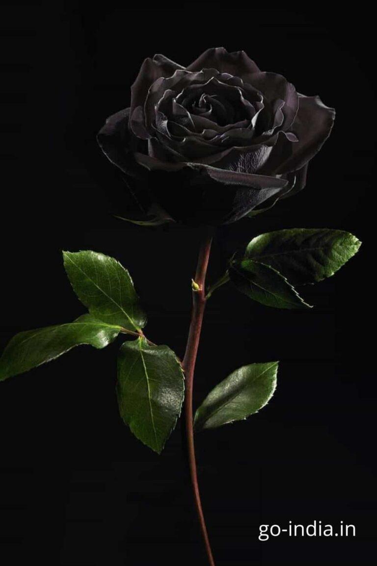 black rose with dark green leaves