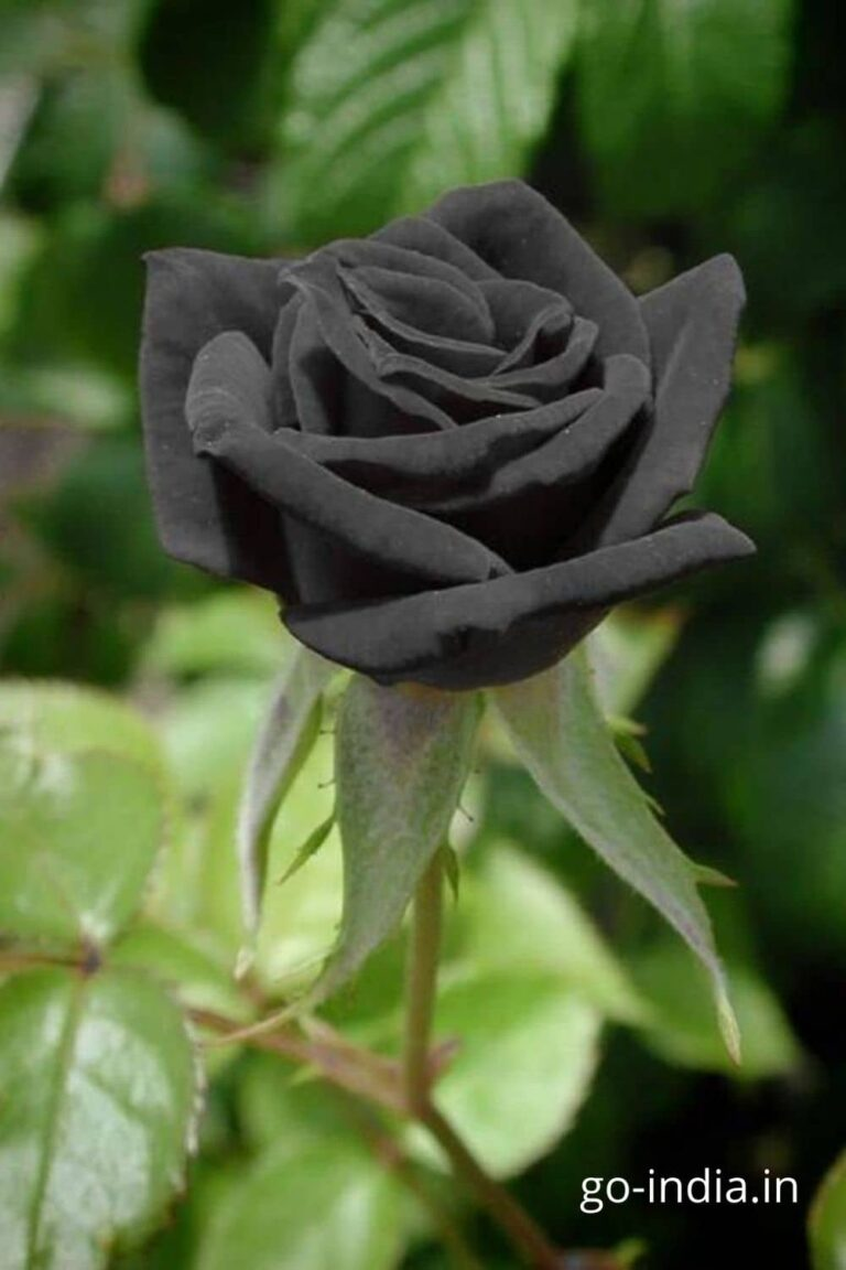 black rose with green leaves