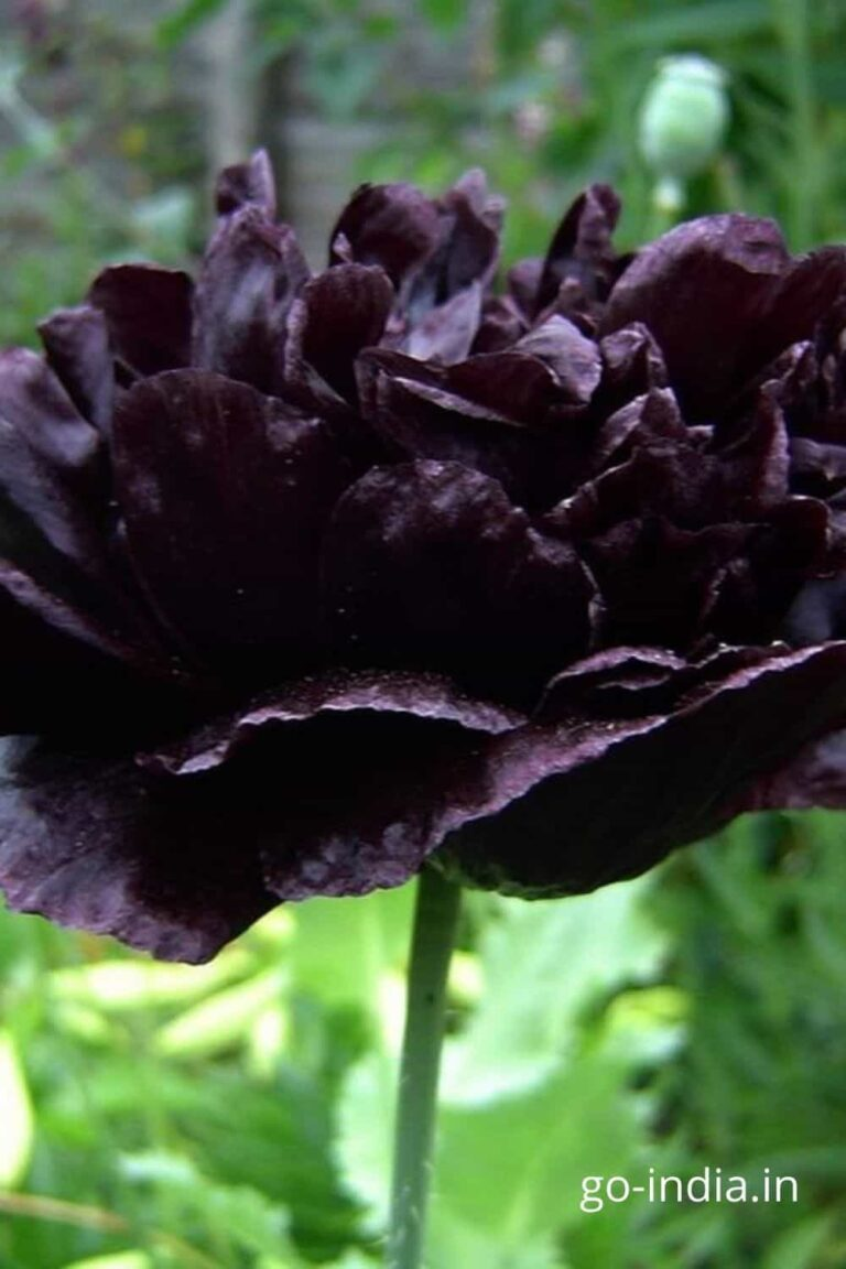 black rose with many leaves